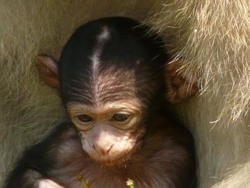 monkey baby monkey mountain monkey