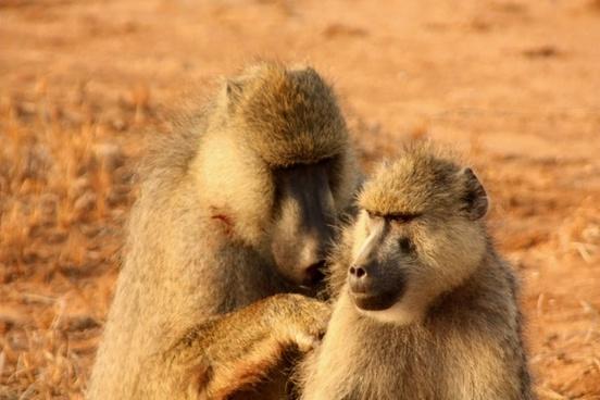 monkeys couple animal