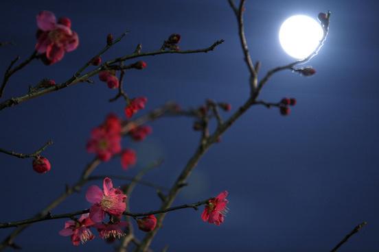 moonlight plum blossom