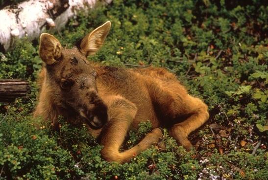 moose calf young