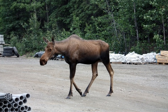 moose denali denali national park