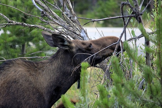 moose eating leaves at rocky mountains national park colorado