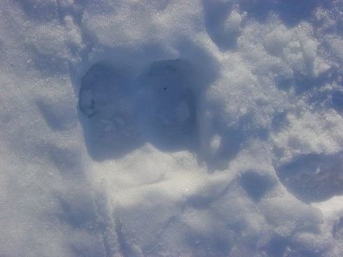 moose footprint