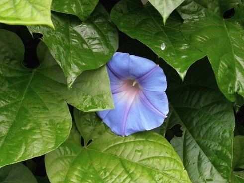 morning glory blue flowers rain