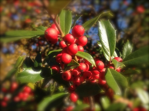 morning holly berries