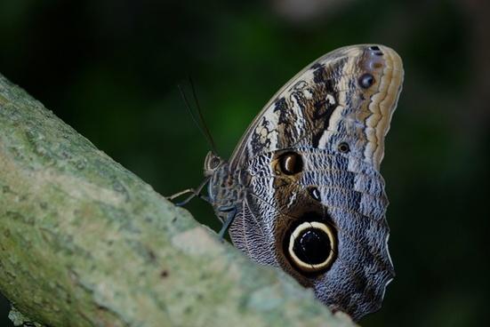 morpho peleides blue butterfly