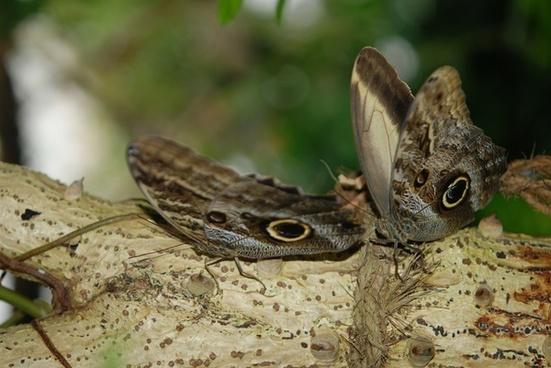 morpho peleides butterflies animal