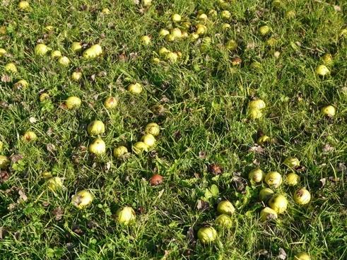 mostbirnen harvest fruit