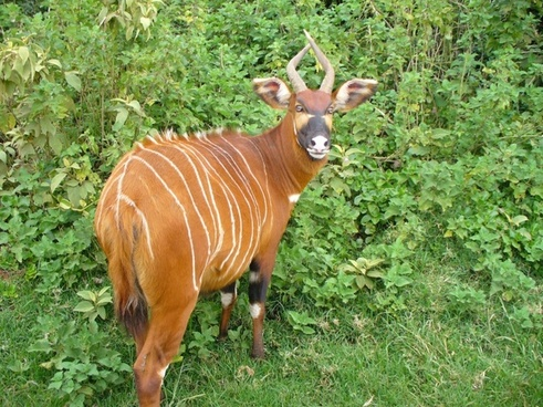 mountain bongo animal mammal