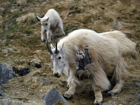 mountain goat canadien rockys animal