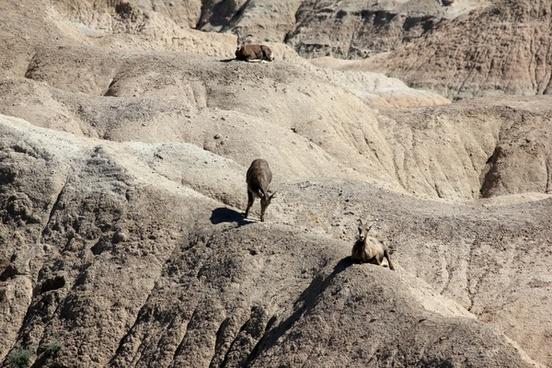 mountain goat on mountains at badlands national park south dakota
