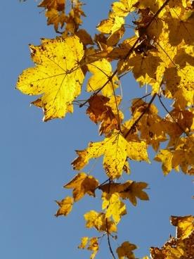 mountain maple acer pseudoplatanus maple