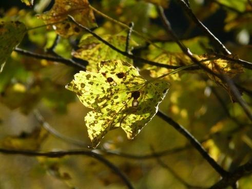 mountain maple autumn acer pseudoplatanus