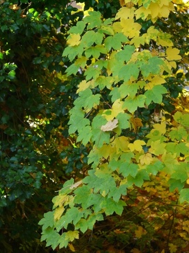 mountain maple leaves fall color