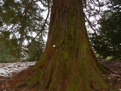 mountain redwood giant redwood sequoiadendron giganteum