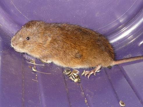 mouse east water vole water vole