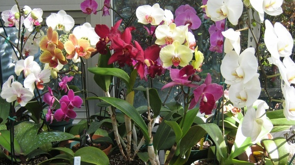 multi color orchids