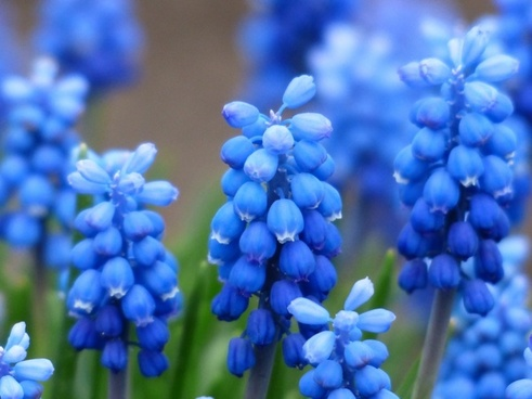 muscari common grape hyacinth flower