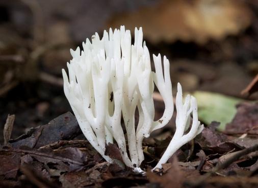 mushroom meadow coral chanterelle