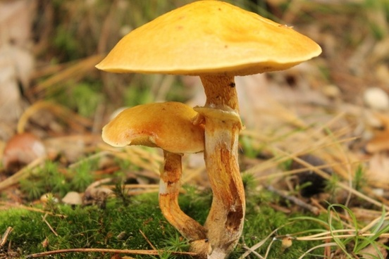 mushrooms autumn mushroom