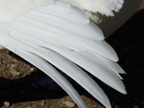 mute swan swan bird