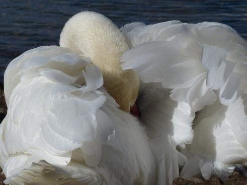 mute swan swan clean