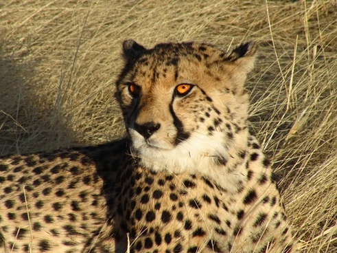 namibia cheetah feline