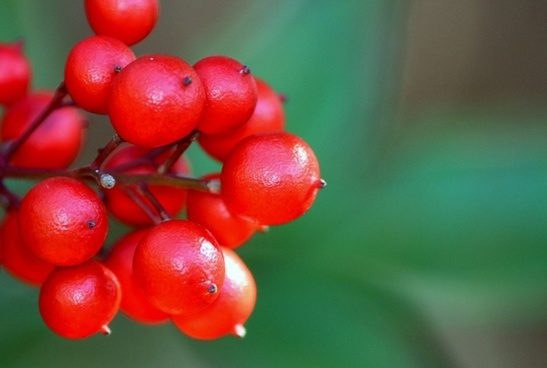 nandina berries red