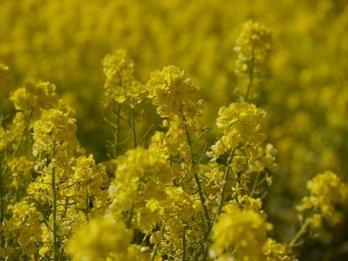 nanohana flowers yellow