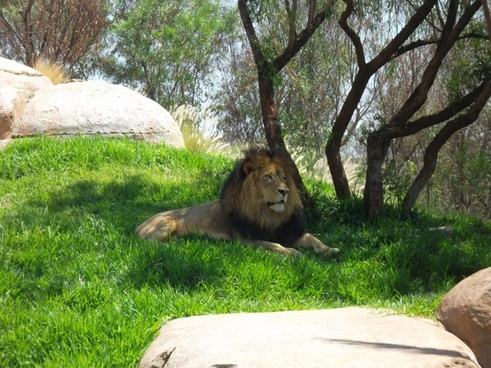 natural lion