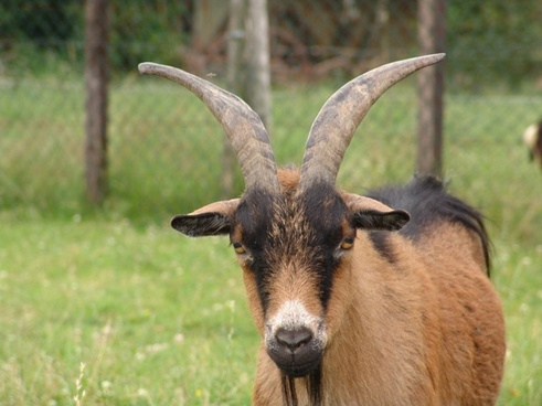 nature animal goat