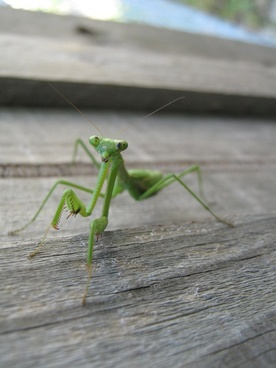 nature insects praying mantis