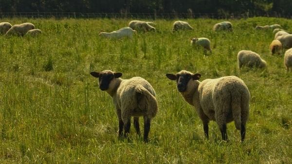 nature sheep pasture