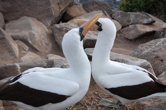 nazca boobie bird mating ritual