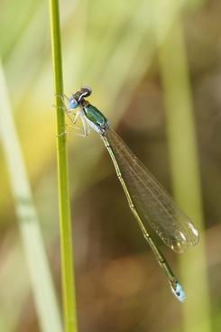 nehalennia speciosa insect dragonfly