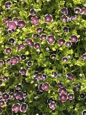 nemophila penny black spring flowers