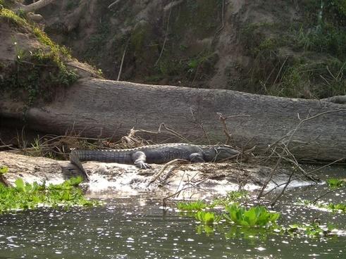 nepal aligator chitwan