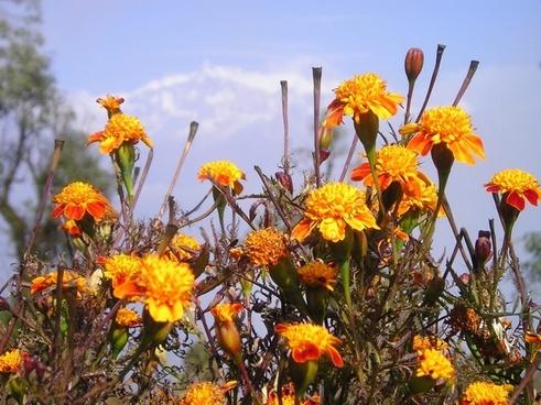 nepal flowers gel