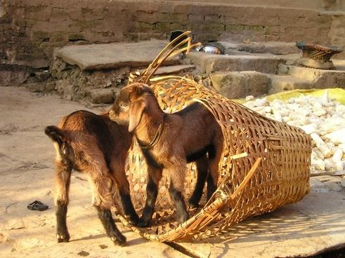 nepal goats small