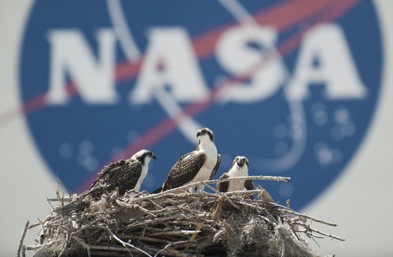 nest birds osprey