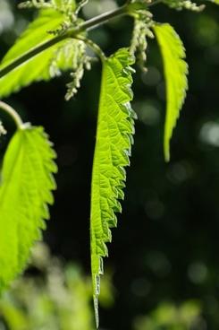 nettle leaves leaves stinging nettle