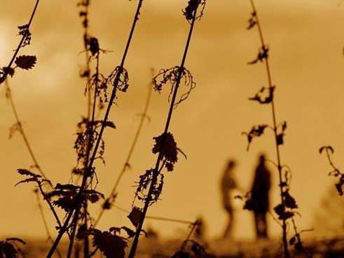 nettles plants sunset
