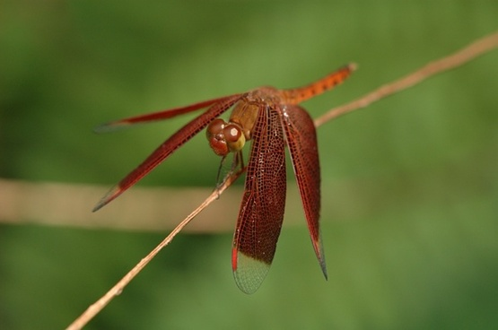neurothemis dragonfly insect