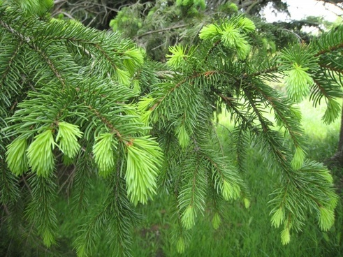 new growth on pine tree