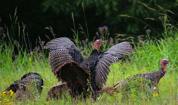 new hampshire turkey turkeys