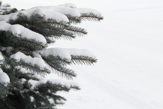 new snow on pine tree branches