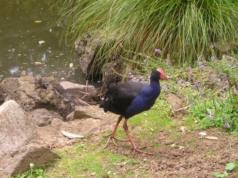 new zealand bird nature