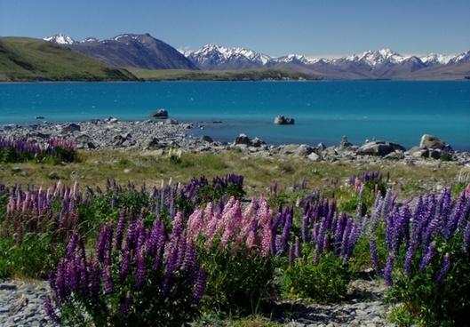 new zealand lake tekapu lupinien