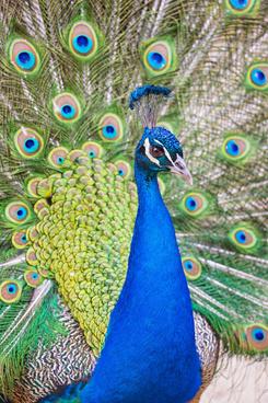 nice peacock