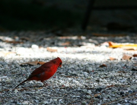 northern cardinal red bird feathers